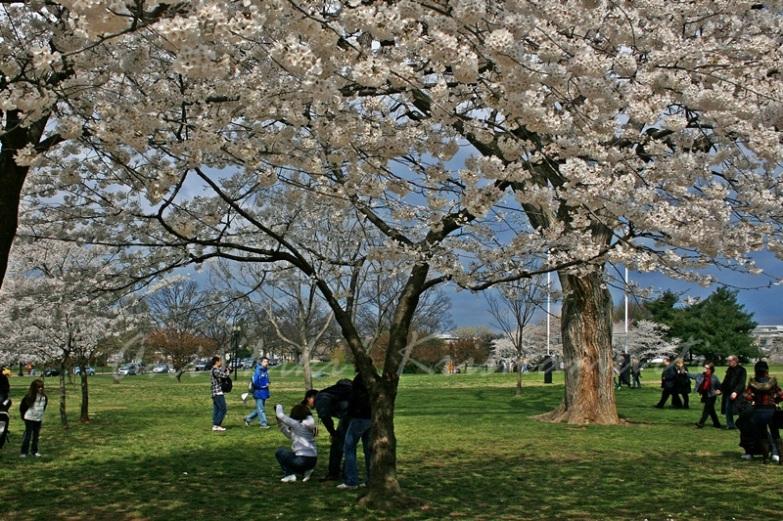 dcc09cherry blossom