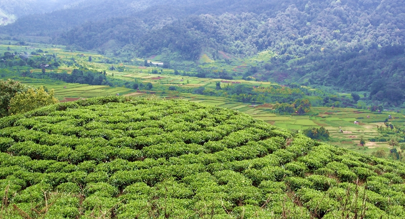 tea plantation- solok