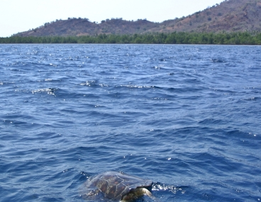 maumere-snorkeling with turtles