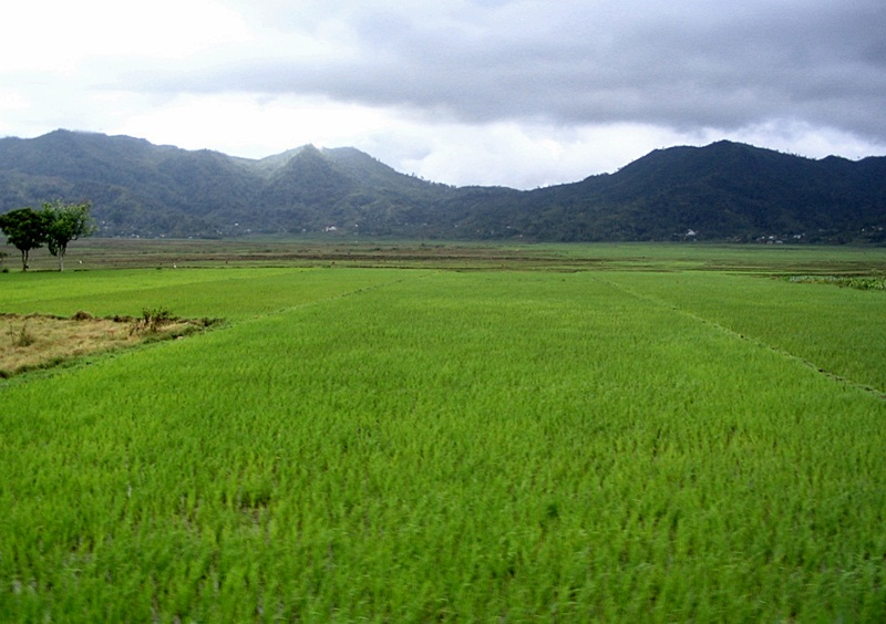 ruteng- rice fields