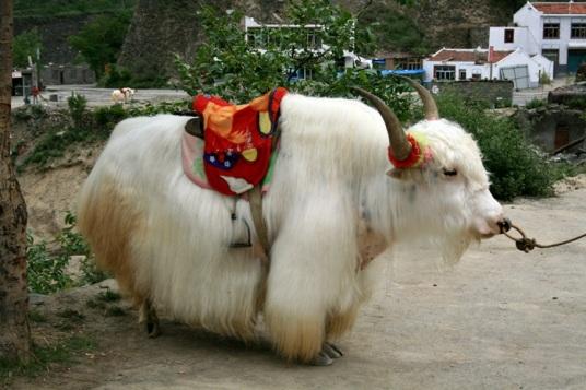 79.sapi putih