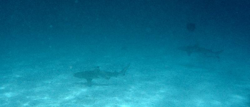 13.shark