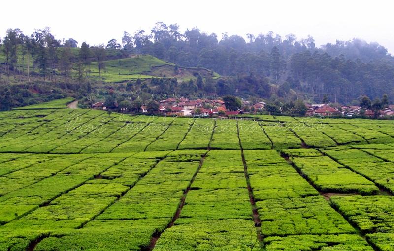 bdg-teaplant