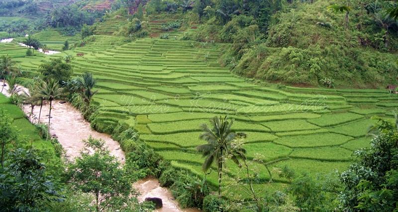 GARUT- rice terrace