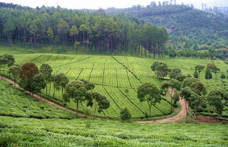 BANDUNG-pengalengan,tea plantation