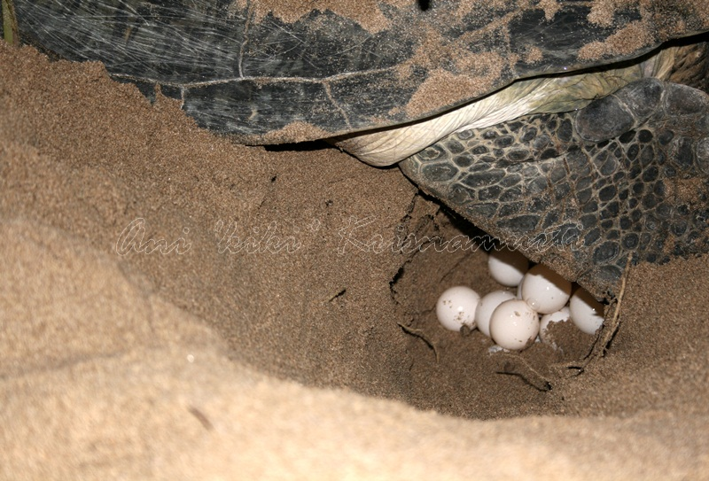 turtle-laying eggs