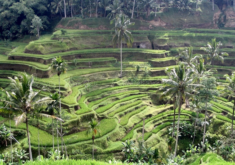 ubud-rice terraces