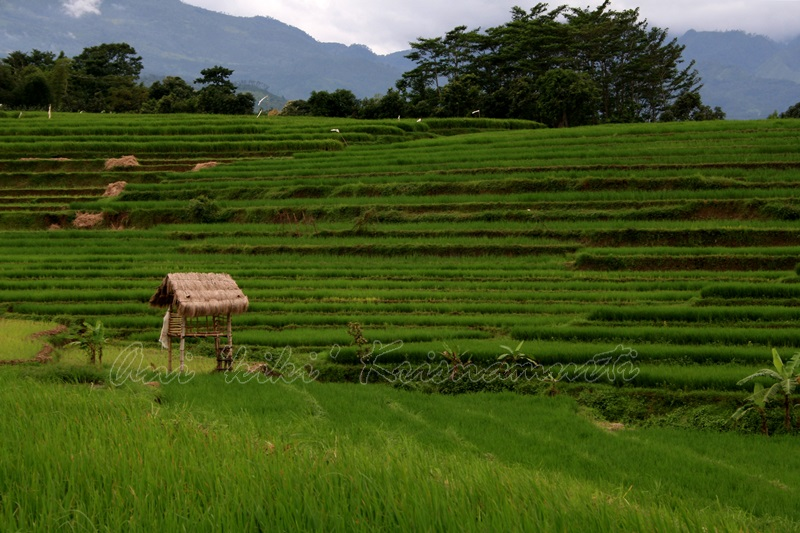 trawas,rice terraces