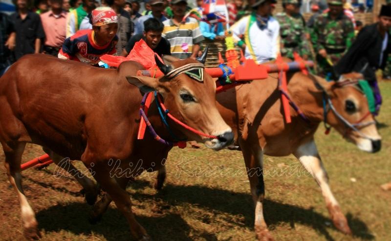 bangkalan, bull racing