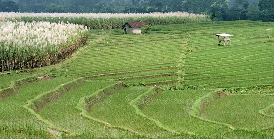 mojokerto, trawas, rice terraces